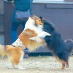 相撲する犬の画像
